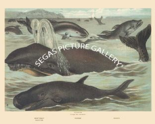 Right Whale, Porpoise, Dolphin, Black Fish
